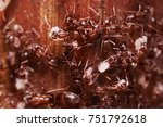 wood ants  formica extreme... | Shutterstock . vector #751792618