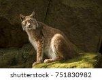 one lynx lynx   Shutterstock . vector #751830982