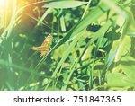 Big Green Grasshopper Sitting...