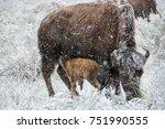 Nursing Bison Calf Set Against...