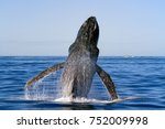 whale breaches on the gold... | Shutterstock . vector #752009998