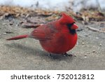 Bright Red Male Cardinal  ...