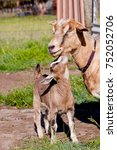 beige brown baby kid goat with... | Shutterstock . vector #752052706