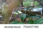 grasshopper with blurry... | Shutterstock . vector #752057785