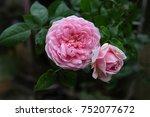 rose  petals flowers... | Shutterstock . vector #752077672
