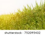 close up green and yellow rice... | Shutterstock . vector #752095432