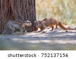 southern yellow mongoose ... | Shutterstock . vector #752137156