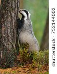 badger  meles meles in the... | Shutterstock . vector #752144002