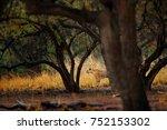 tiger hidden walking in old dry ... | Shutterstock . vector #752153302