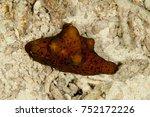 Small photo of Network Lamellaria, Coriocella