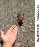 Cascade Golden Mantled Ground...