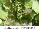Green Bunch Of Grapes...
