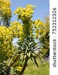 Small photo of Albanian spurge or Euphorbia characias