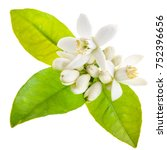 Flowering Of Oranges. White...
