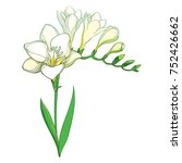 vector outline white freesia... | Shutterstock .eps vector #752426662