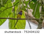 gouldian finch   the lady... | Shutterstock . vector #752434132
