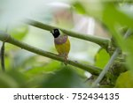 gouldian finch   the lady... | Shutterstock . vector #752434135