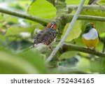 gouldian finch   the lady... | Shutterstock . vector #752434165