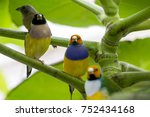 gouldian finch   the lady... | Shutterstock . vector #752434168