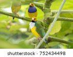 gouldian finch   the lady... | Shutterstock . vector #752434498