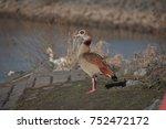 Nile Goose Near A River