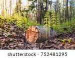 felling of trees. young shoots... | Shutterstock . vector #752481295