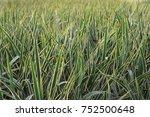 perennial plants. grasess in...   Shutterstock . vector #752500648