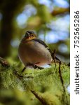 Small photo of Close up photo of The Madeiran chaffinch (Fringilla coelebs maderensis; tentilhão), a bird endemic to the Portuguese island of Madeira, sitting on mossy tree