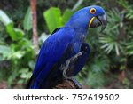 Bright Blue Hyacinth Macaw