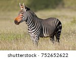 cape mountain zebra  equus... | Shutterstock . vector #752652622