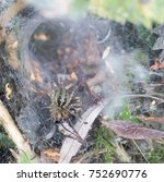 Small photo of Labyrinth Spider (Agelena labyrinthica), a funnel-web spider with prey, Norfolk, England, UK.