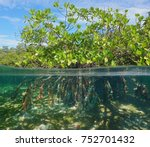 Mangrove Tree Over And Under...
