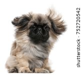 Pekingese Puppy With Windblown...