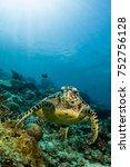 Loggerhead Turtle Swimming Over ...
