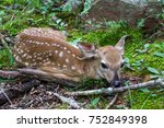 Small Deer Fawn Lying Down In...