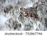 Branch Thuja Or Cypress Tree I...