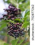 Small photo of elderberries genus Sambucus