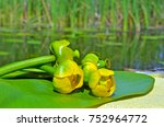 water lily on the river dnieper.... | Shutterstock . vector #752964772