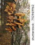 edible honey fungus  armillaria ... | Shutterstock . vector #752969962