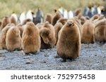 king penguin chicks   Shutterstock . vector #752975458