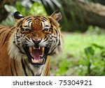 close up of a tiger's face with ... | Shutterstock . vector #75304921