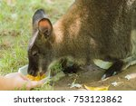 Human Feeding Small Wallaby.