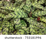close up of calathea lancifolia ... | Shutterstock . vector #753181996