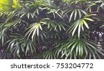 a type of tropical palm tree.... | Shutterstock . vector #753204772