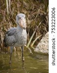 Small photo of The shoebill stork, also known as whalehead, is a very large stork-like bird. Its name from its massive shoe-shaped bill