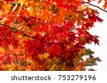 red maple branch tree... | Shutterstock . vector #753279196
