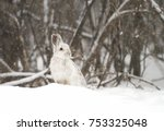 Stock photo snowshoe hare or varying hare in the falling snow in canada 753325048