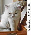 a white persian cat | Shutterstock . vector #753336598