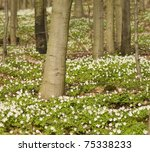 Las spring of carpet anemones - stock photo