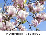 Blossoming Of Magnolia Trees...